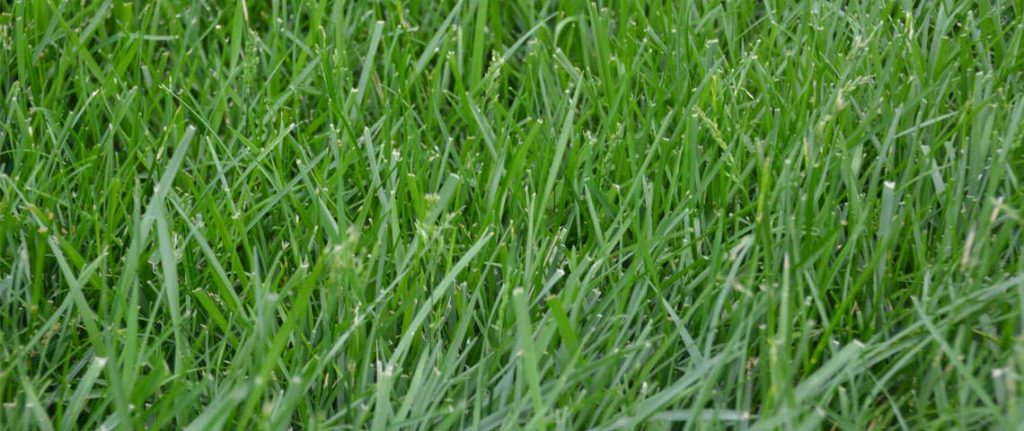 Kentucky 31 vs Tall Fescue: Best and Worst